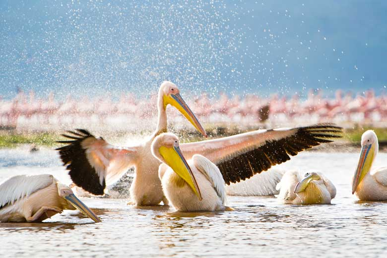 pelicans splashing in Lake nakuru