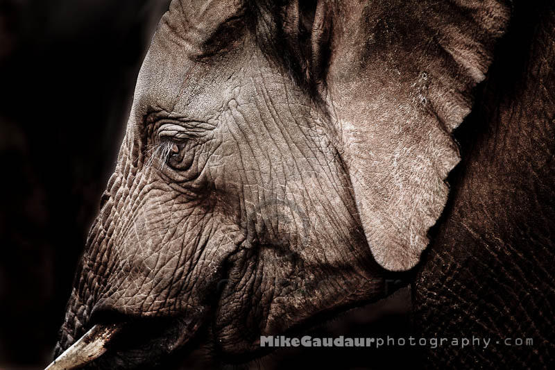 elephant-profile