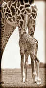 04 04 18 Crescent Island giraffe-adult-and-newborn