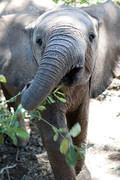 07 07 16 Samburu inquisitive elephant calf