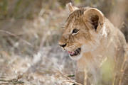 07 08 21 Masai Mara bright eyed lion cub