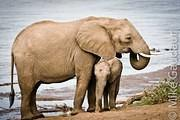 elephant with calf on beach