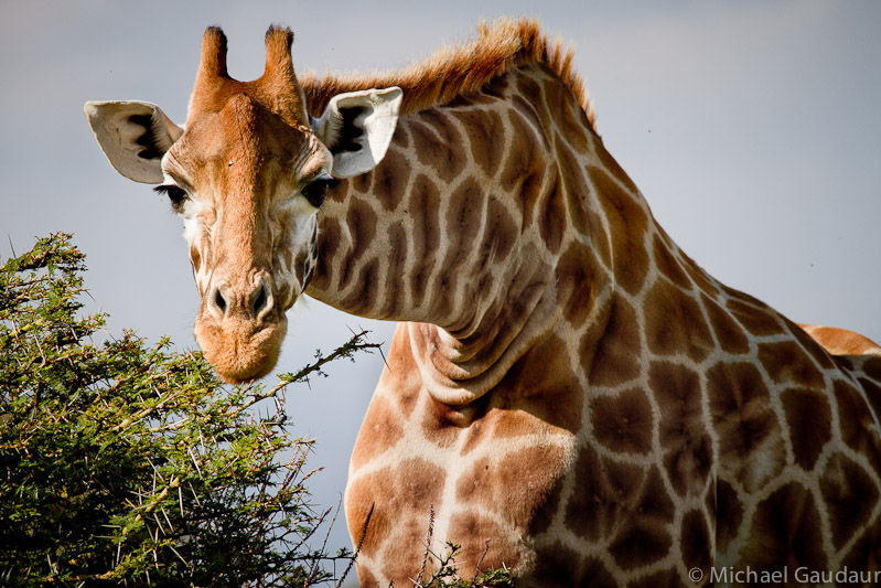 giraffe peering intently at photographer