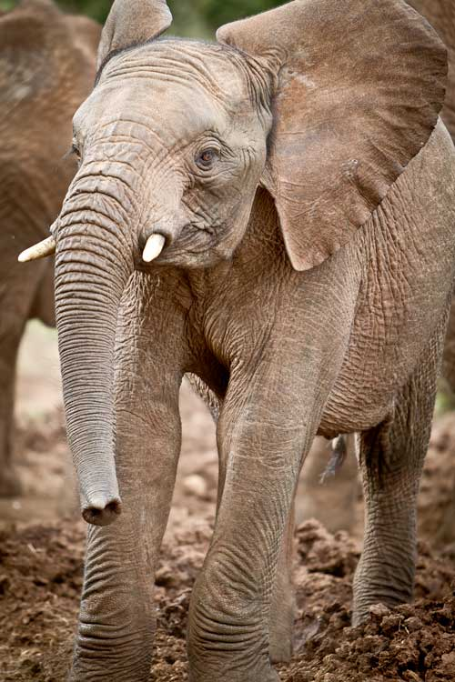 baby elephant in the mud