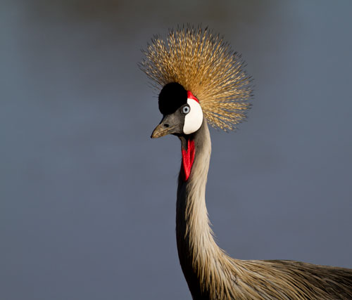 grey crane with white cheek, red wattle, and golden crown