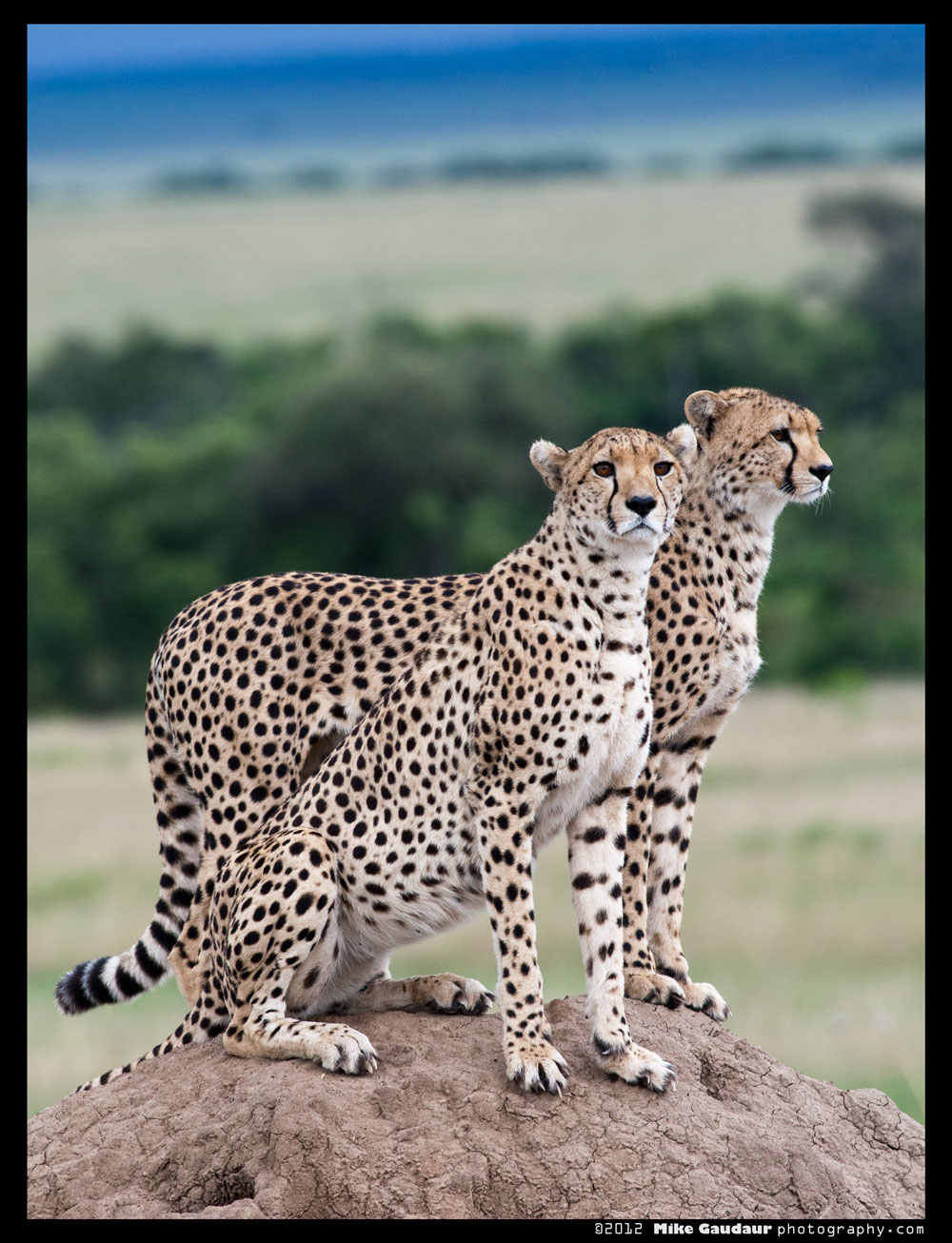 Cheetah brothers on a termite mound taken in low light.