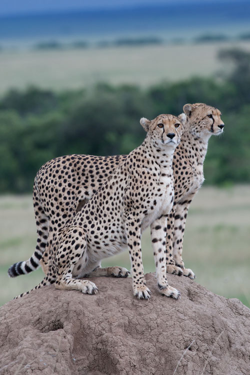 cheetah-brothers-on-hill-RAW