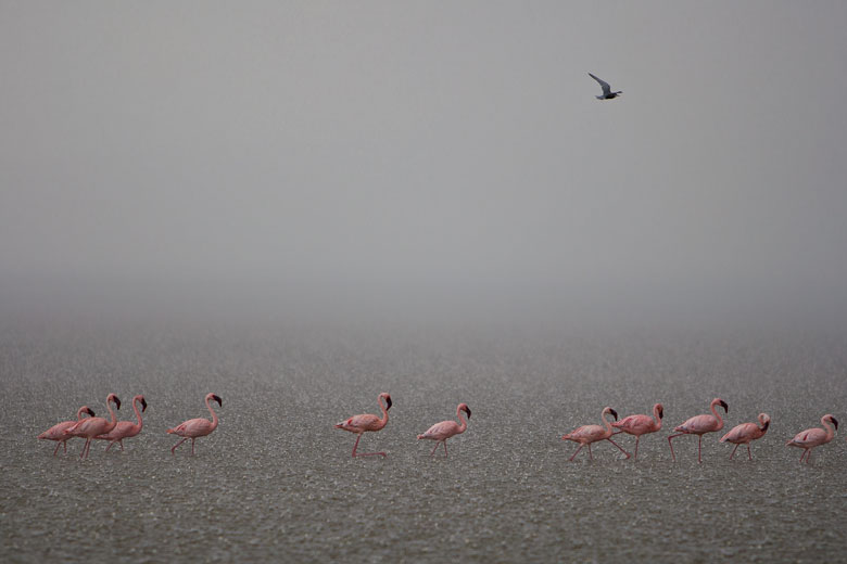 Lake Nakuru flamingos in the rain