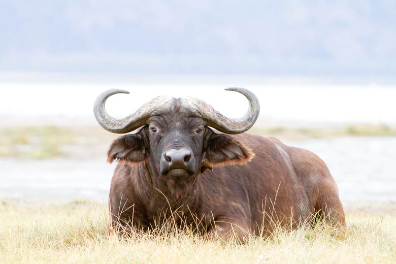buffalo with oxpecker
