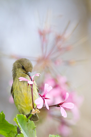 sunbird on pink flower