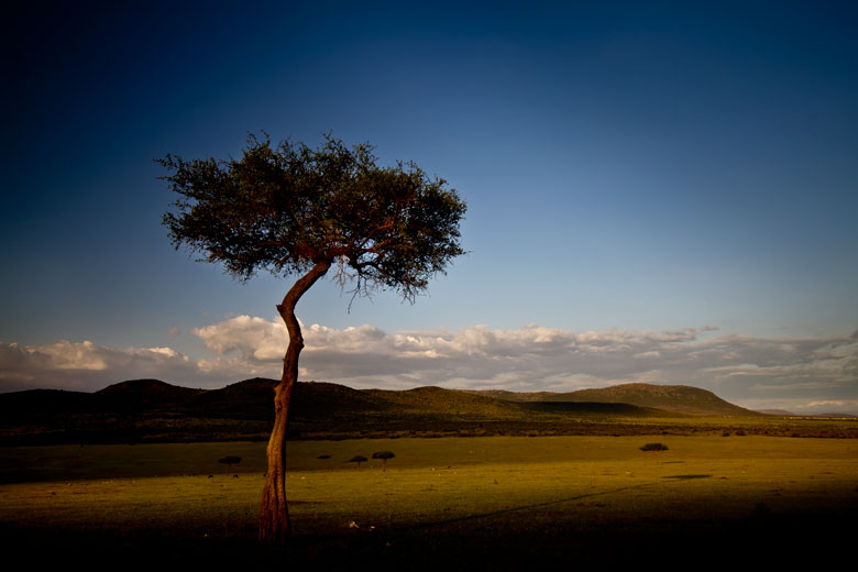 thorn tree on Masai Mara at sunset