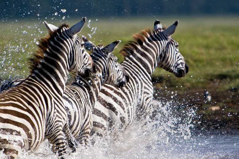 three zebra splashing through river