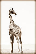 06 03 16 Crescent Island sepia-giraffe-backward-glance